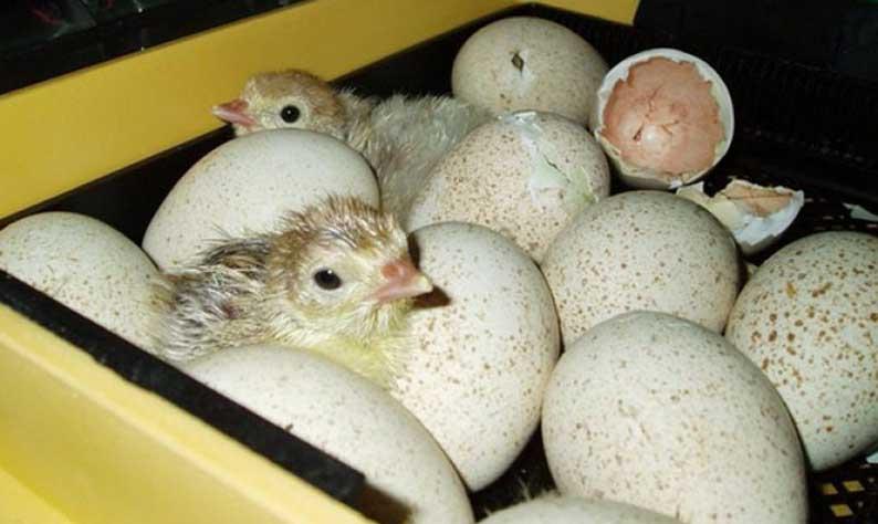 Инкубация яиц, выведение молодняка у цезарок