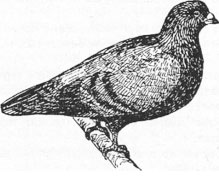 Римский мясной голубь