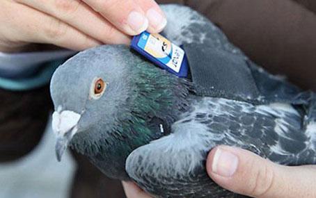 Почтовые голуби: как им это удаётся