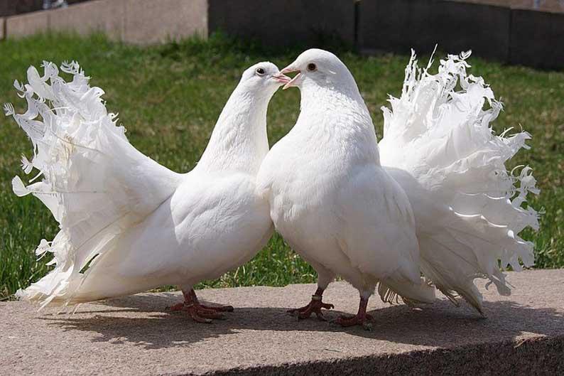 Практика разведения голубей
