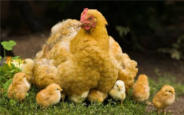 Выращивание цыплят с наседкой